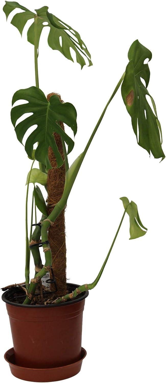 Davies Alta Fibra de Coco Musgo Stick Coco Vara Fibra de Coco ...