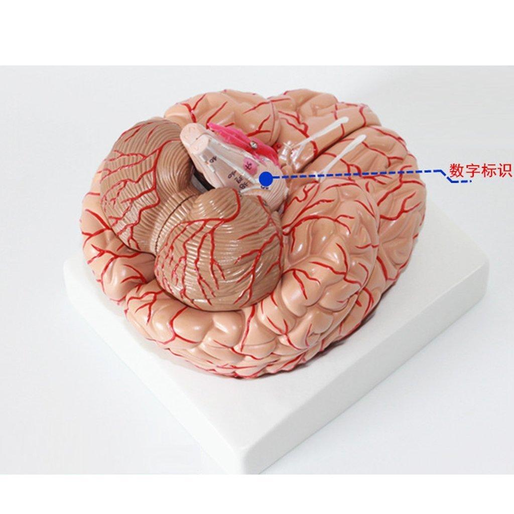 09 Teilig 1: 1 Menschliches Gehirn mit Arterien Anatomie Modell ...