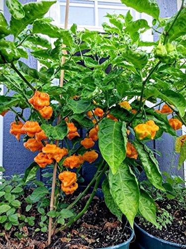 (JAMAICAN YELLOW SCOTCH BONNET PEPPER,Chili,Heirloom pepper - 50-1000 Seeds)