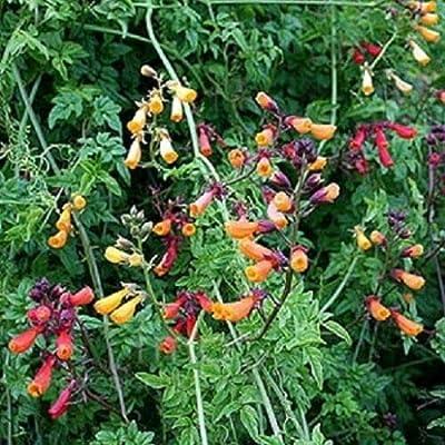 200 Seeds Chilean Glory Vine Eccremocarpus Vine Perennial : Garden & Outdoor