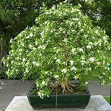 Heirloom 100% Real Orange Jasmine Shrub With Fragrant White Flower Seeds , 20 Seeds / Bag , Murraya