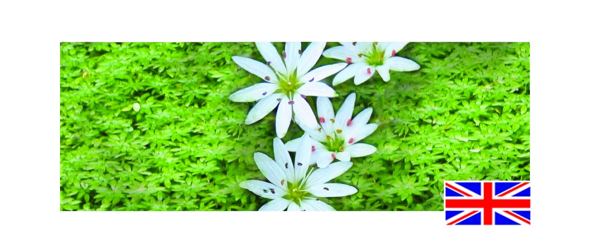 native oxygenating pond plant. Water Starwort 1 x Leaded bunch Callitriche