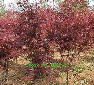 ¡Caliente! De 30 semillas del árbol de arce americano grandes plantas Bonsai Semillas