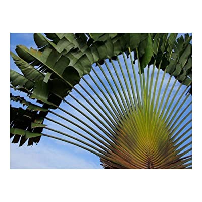 Ravenala madagascariensis - travellers tree - travellers palm - 15 seeds : Garden & Outdoor