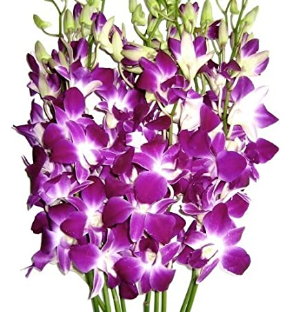 Amazon.com : Fresh Cut Flowers -Dendrobium Orchids Bom Sonia ...