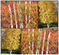 The Dirty Gardener Betula Papyrifera Paper Birch Tree Seeds