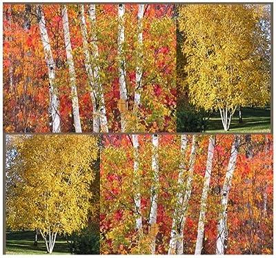 The Dirty Gardener Betula Papyrifera Paper Birch Tree Seeds