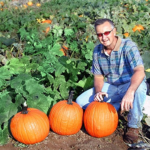Pumpkin Gladiator - Farmore Treated Seeds - Powdery Mildew Tolerant - 250 Seeds by HARRIS MORAN