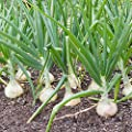 White Grano Onion Garden Seeds (Treated) - Non-GMO, Vegetable Gardening Seed