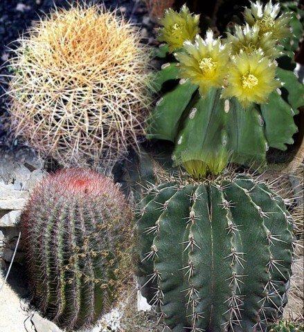 Amazon.com: Mixed Barrel Cactus 20 semillas – Ferocactus ...