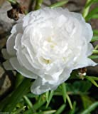 Portulaca Moss Rose Double White ~ 200 Seeds Great in Container, Easily Grown