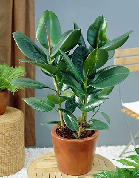 9 Semillas Ficus Elastica árbol De Goma Caucho De La Planta De Fácil Cuidado De La Planta De Interior Amazon Es Jardín
