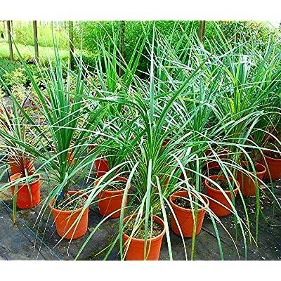 AchmadAnam - 250 Seeds - Dracaena Spike Dracaena Seeds Cordyline Indivisa. E1 : Garden & Outdoor