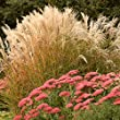 Outsidepride Miscanthus Grass 500 Seeds 2