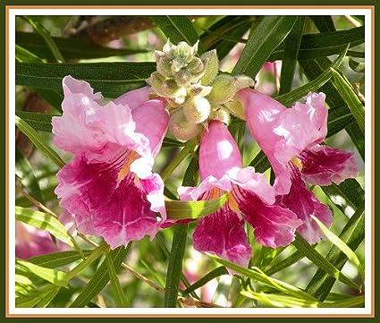 Amazon desert willow tree seeds fragrant bi colored orchid 10 desert willow tree seeds fragrant bi colored orchid 10 seeds mightylinksfo