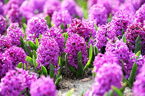 300pcs/Package Multi Hyacinth Seeds Ornamental Plants Seeds Courtyard Garden with Flower Seeds Bulk Pack (Hyacinth Seeds)