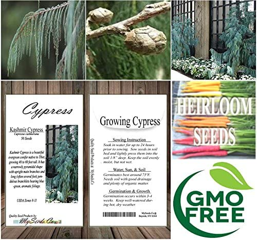 Tree Seeds Cupressus cashmeriana Kashmir Cypress Fragrant Weeping Evergreen