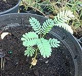10 Thornless Argentine Mesquite Tree SEEDS Prosopis alba Algarrobo panta Blanco