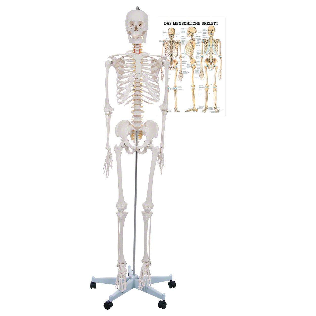 Sport-Tec Skelett Oscar inkl. Stativ, 178 cm und Lehrtafel Das ...