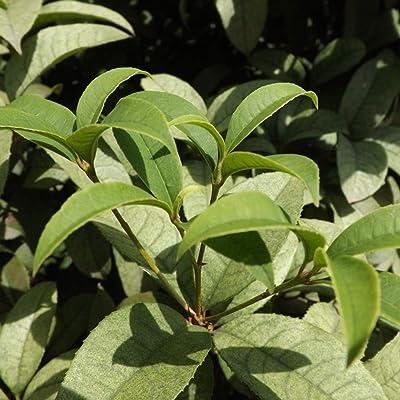 32gagwwc 10Pcs Dwarf Cinnamon Seeds Bonsai Tree Home Yard Farm Seasoning Easily Grow, Gardening Planting Harvest, Indoor Outdoor, Decoration Gifts Cinnamon Seeds : Garden & Outdoor