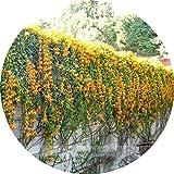 ADB Inc Rare Chinese Orange Pyrostegia Venusta Perennial Climbing Plant Seeds