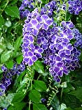 10 Seeds Duranta erecta Golden Dewdrop Ornamental Shrub