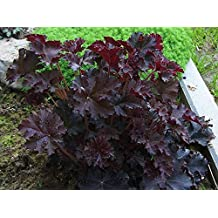 Coral Bells Plant Seeds,Heuchera Palace Purple ,Perennial, Zone: 4-9
