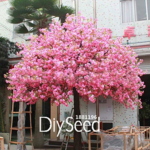 HOO PRODUCTS - 10 PCS/lot Red Japanese cherry blossoms Seeds Courtyard Garden Bonsai Tree Seeds Small Sakura Tree Seeds Mixed Colors Loss Promotion!