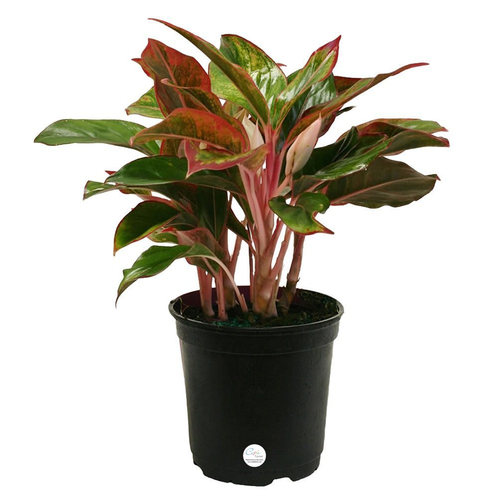 Siam Aglaonema Chinese Evergreen Live Indoor Tabletop Plant
