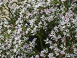 German Statice seeds - Limonium tataricum
