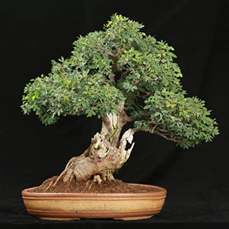 1 X Bonsai Tree Moss Spores seeds for indoor and outdoor plants