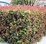 Seeds and Farms Photinia Serrulata Rosaceae Evergreen Shrubs or Small Trees 100 Seeds