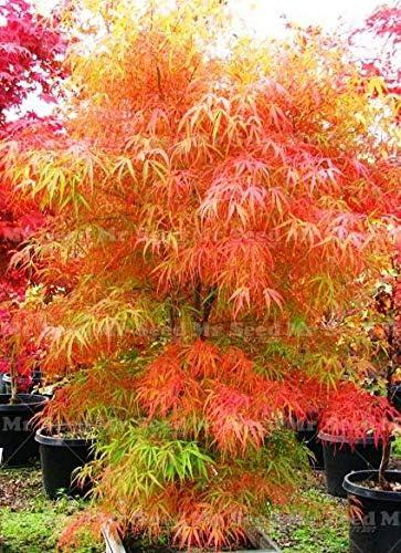 AGROBITS planta fresca 20pcs de la planta del árbol de arce japonés hermosas plantas decorar su jardín casero: 9: Amazon.es: Jardín