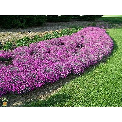 Firewitch Dianthus : Garden & Outdoor