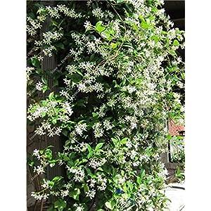 8: 100 pezzi Semi di fiori di gelsomino rampicante esotici Semi di gelsomino colorati Pianta profumata Semi di gelsomino…
