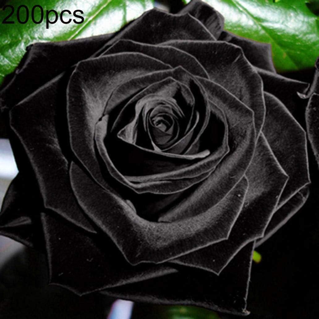 Uticon Semillas De Flor De Rose 200pcs Noble Negro Inicio Jard¨ªN Perenne Bonsai Plant Decor - 200pcs Semillas De Rose