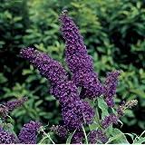 """Black Knight Butterfly Bush - Buddleia - Oldtimer/Hardy - 4"""" Pot"""