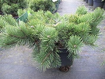 Pinus mugo Krauskopf Bergkiefer Krauskopf
