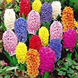 C-Pioneer 600 PCS 23 Color Mixed Hyacinthus Orientalis Seeds, Not Hyacinth Bulbs