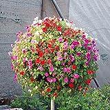 Heirloom Hanging Petunia Mixed Seeds(100 seeds),rare variety, hardy ,Very Beautiful Garden Flowers Light Up Your Garden (Garden Petunia A3)