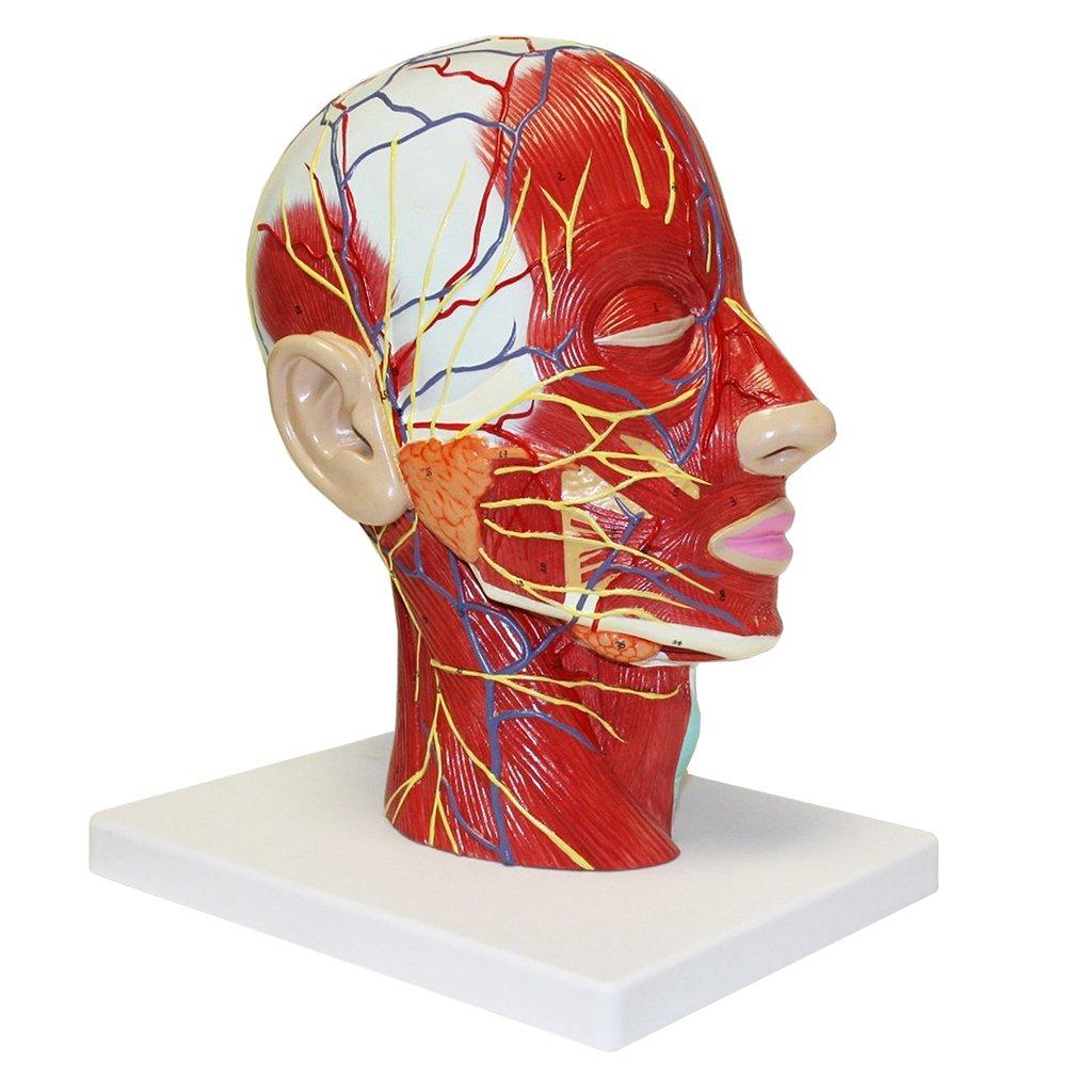 Sharplace Menschlicher Kopf und Hals Oberflächlichen Muskelgefäß ...