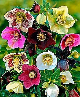 Amazon Com 100pcs Helleborus Hellebore Seeds Christmas Rose