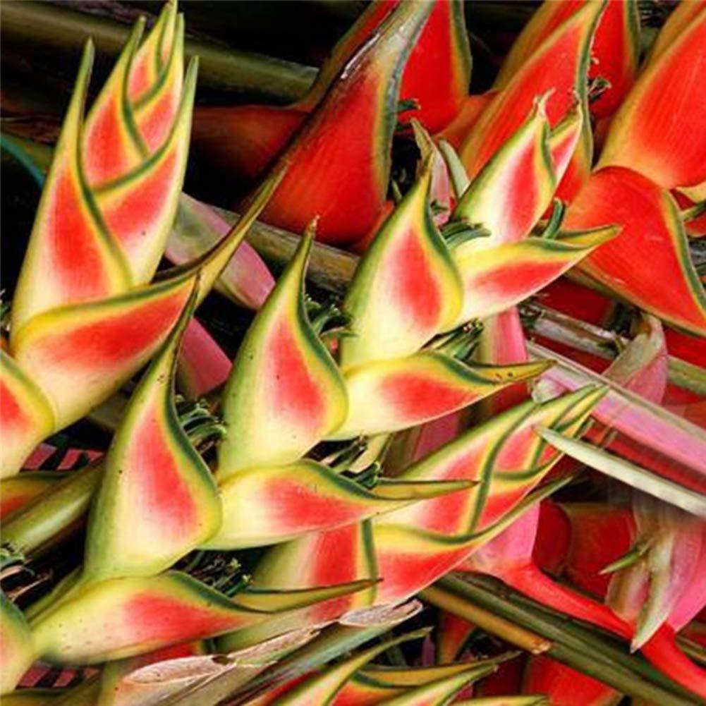 Bornbayb 100 Morceaux//Sac Graines Heliconia Graines de Plantes Tropicales rares Graines de Bonsa/ï