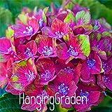 100pcs/lot Hydrangea macrophylla 'Glam Rock' (Horwack) seeds beautiful flower bonsai plant DIY home garden,068PJG