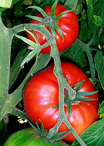 0.16 g Seeds of Solanum lycopersicum, Mortgage Lifter VFN Tomato