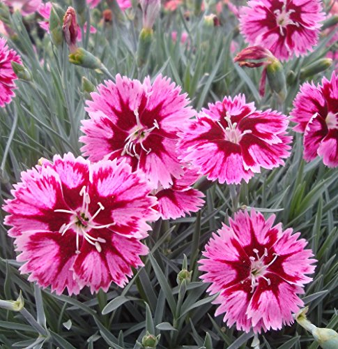 Star Dianthus (Star Superstar Dianthus - Fragrant - Shines All Summer Long - Quart Pot)