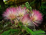 15 Seeds E.H. Wilson Silk-Tree Albizia julibrissin