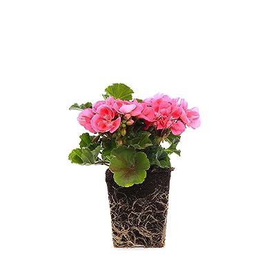 "Plants by Post Quart 4in Pink Geranium Live Plant, 4"": Garden & Outdoor"