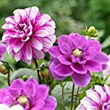 6 Bulbs Dahlia Waterlily Priceless Pink/ Serkan