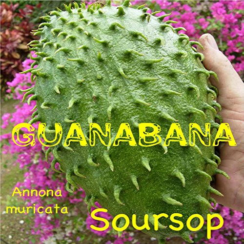 ~SOURSOP~ Annona muricata FRUIT TREE Guanabana NOT BR small 6-10+in Pot'd Plant (Tree Soursop Fruit)